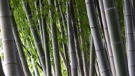 bamboo maze photo